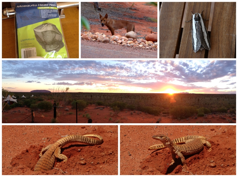 Required Equipment for Bushwalking - Mosquito Head Net. Came across a Dingo, a cool Moth, and a Monitor digging a hole. And a sunset over Uluru - Kata Tjuta.